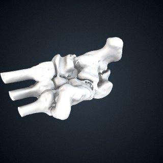 3d model of Pongo abelii: Tarsals Articulated Left