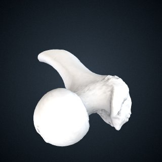 3d model of Gorilla beringei beringei: Femur Right