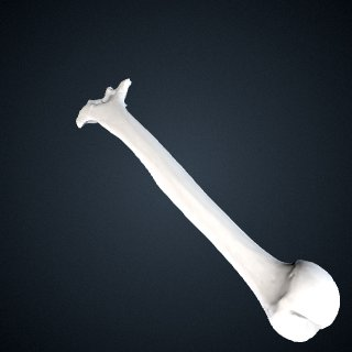 3d model of Gorilla beringei beringei: Humerus Right