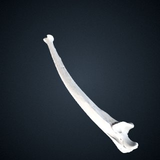3d model of Gorilla beringei beringei: Ulna Left