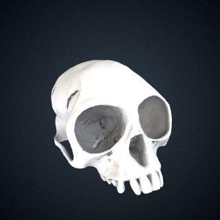 3d model of Presbytis natunae: Cranium