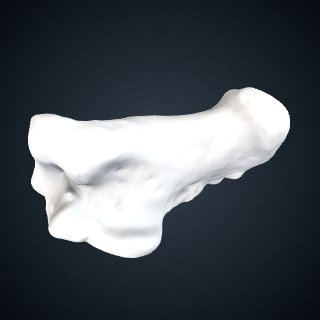 3d model of Pongo pygmaeus: Calcaneus Left