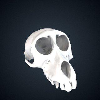 3d model of Macaca assamensis pelops: Cranium