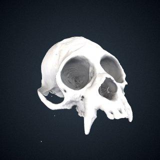 3d model of Cacajao calvus rubicundus: Cranium