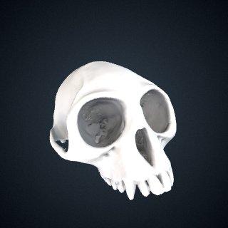 3d model of Trachypithecus germaini caudalis: Cranium
