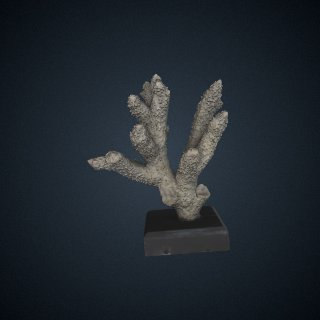 3d model of Madrepora robusta