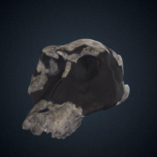 3d model of Australopithecus afarensis: cranium