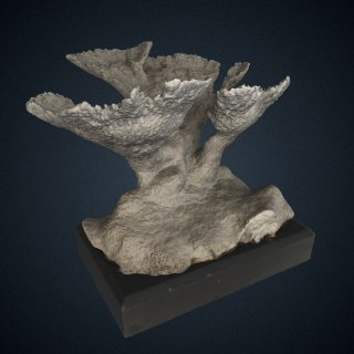 3d model of Acropora palmata