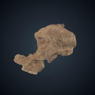 3d model of Paranthropus robustus: cranium