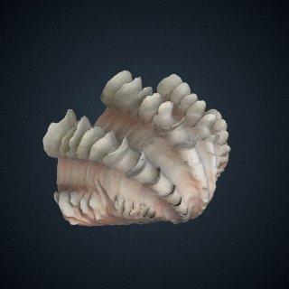 3d model of Tridacna (Flodacna) squamosa
