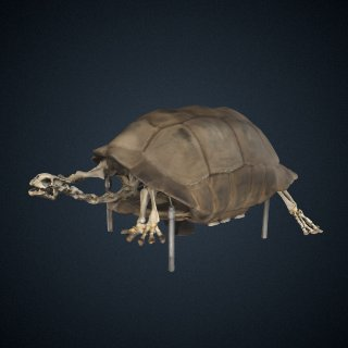 3d model of Geochelone carbonaria