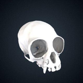 3d model of Hylobates lar lar: Cranium