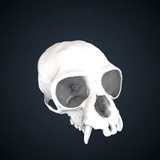 3d model of Hylobates sp.: Cranium