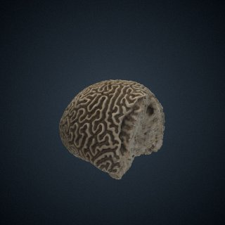 3d model of Pseudodiploria strigosa