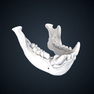 3d model of Symphalangus syndactylus: Mandible