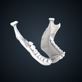 3d model of Brachyteles arachnoides: Mandible