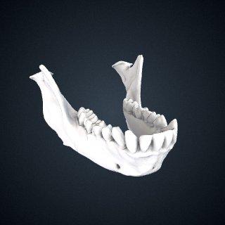 3d model of Macaca thibetana: Mandible
