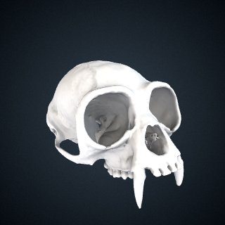 3d model of Hylobates lar carpenteri: Cranium