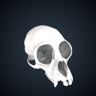 3d model of Ateles marginatus: Cranium