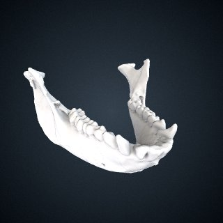 3d model of Cercopithecus mona: Mandible