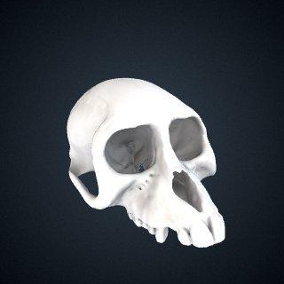 3d model of Lophocebus aterrimus: Cranium