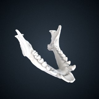 3d model of Lemur catta: Mandible