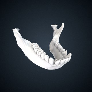 3d model of Presbytis siamensis cana: Mandible