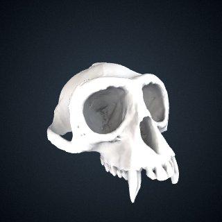 3d model of Piliocolobus badius badius: Cranium