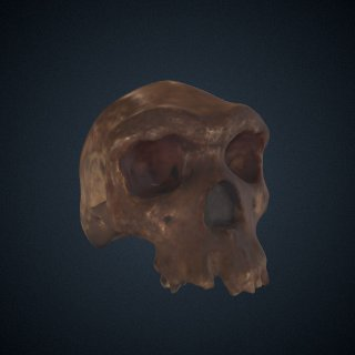 3d model of Homo heidelbergensis: cranium