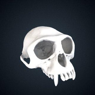 3d model of Presbytis potenziani potenziani: Cranium