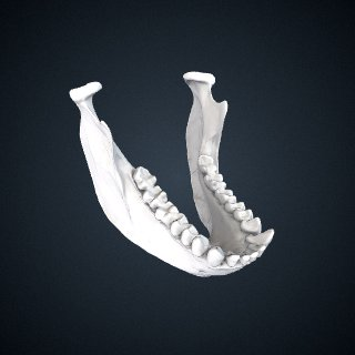 3d model of Alouatta palliata: Mandible