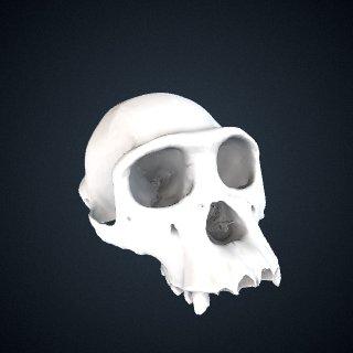 3d model of Pan troglodytes troglodytes: Cranium