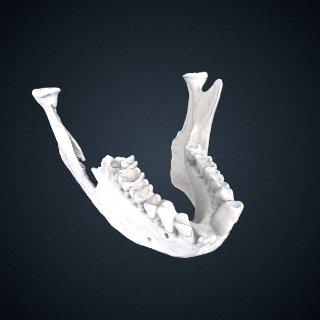 3d model of Trachypithecus cristatus vigilans: Mandible