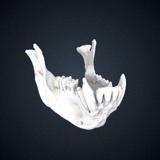3d model of Theropithecus gelada gelada: Mandible