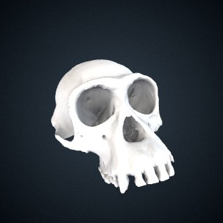 3d model of Pan troglodytes verus: Cranium
