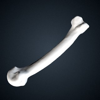 3d model of Pongo abelii: MT2 Right