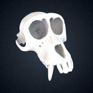 3d model of Macaca fascicularis fascicularis: Cranium