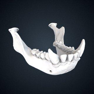 3d model of Hylobates muelleri abbotti: Mandible