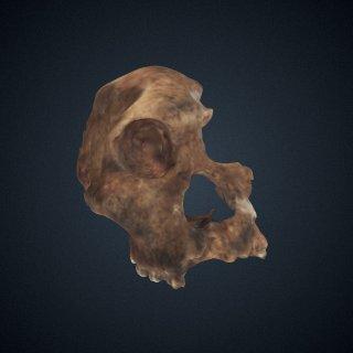 3d model of Australopithecus africanus: cranium