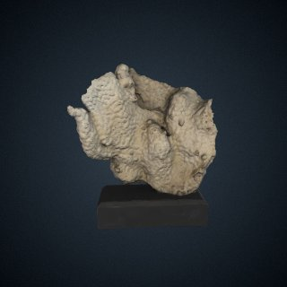 3d model of Echinopora reflexa
