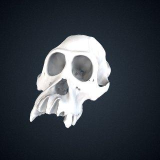 3d model of Pongo pygmaeus: cranium