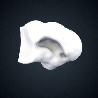 3d model of Pongo pygmaeus: Cuboid Right