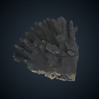 3d model of Heliopora coerulea
