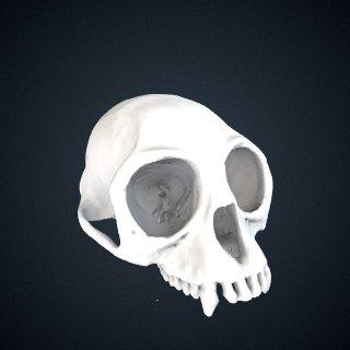 3d model of Trachypithecus ebenus: Cranium