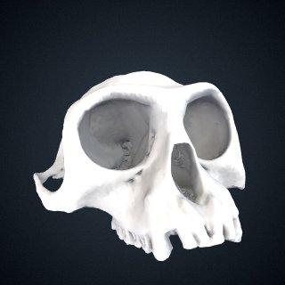 3d model of Semnopithecus entellus: Cranium