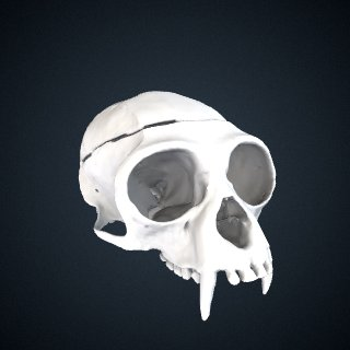 3d model of Hylobates lar vestitus: Cranium