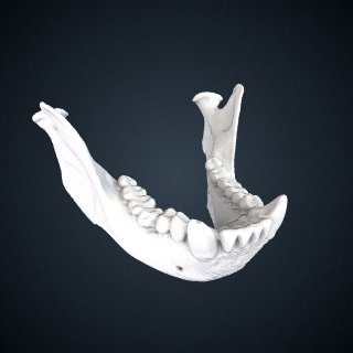 3d model of Sapajus apella: Mandible