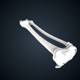 3d model of Pongo abelii: Tibia Fibula Left