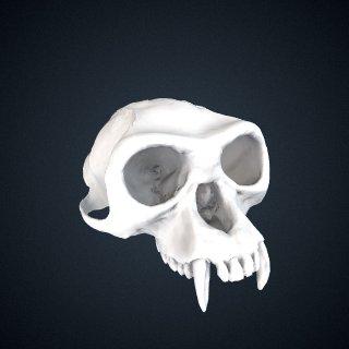 3d model of Rhinopithecus roxellana roxellana: Cranium