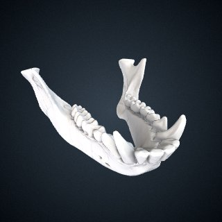 3d model of Cercopithecus nictitans martini: Mandible